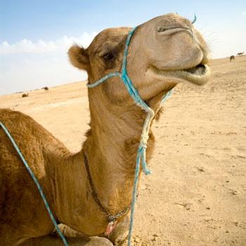 Smiling-Camel