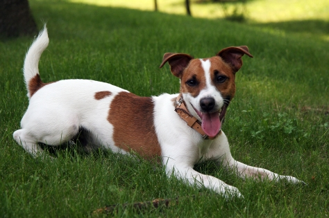 Jack_Russell_Terrier_2