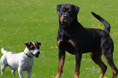 pic_BROOKSBY-jack-russell-terrier-pelo-liscio-bianco-arancio-NILO-DI-ALBASCURA-rottweiler-_394484_large