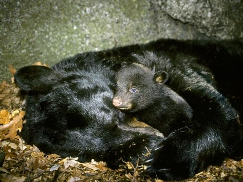 black-bear-hibernation-metabolism-surprises_32353_600x450