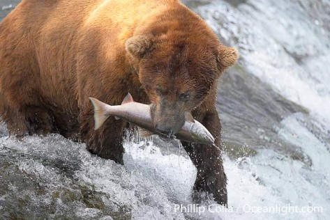 brown-bear-eating-salmon-photo-17328-223291